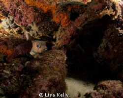 Puffer fish hiding in the reef by Lisa Kelly 